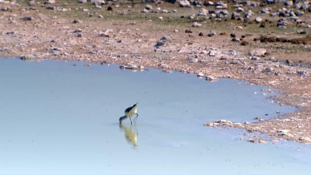 A bird drinking a water/ Etosha National Park/ South Africa