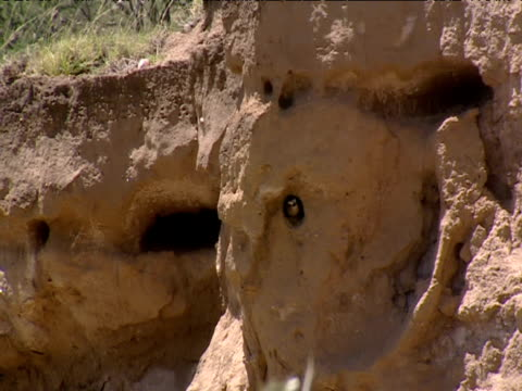 Bird flies from hole in mud bank