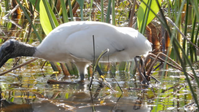 Bird Heron in South Florida Swamp
