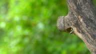 Vogel (Kupferschmied Barbet) im hohlen Baumstamm
