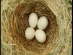 Bird nest containing four eggs, Montana