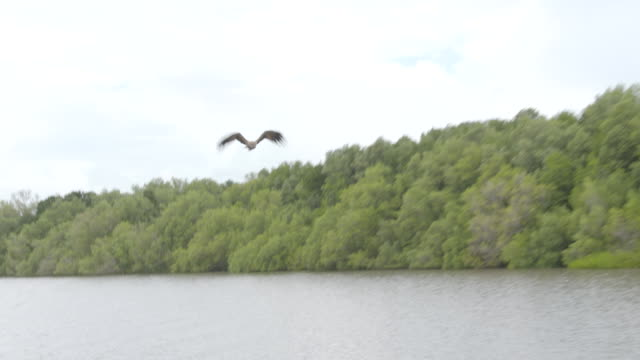 bird of prey flies over river swooping down to water level / several birds fly and swoop