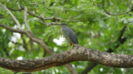 Bird (Black-crowned night heron) on a tree.