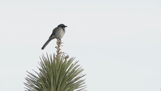 Bird sits on Joshua Tree