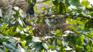 Vogel (Black-gekroond night heron) met flap in een nest op boom.