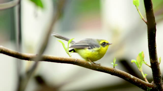 vogel Yellow-bellied Fairy-vliegenvanger