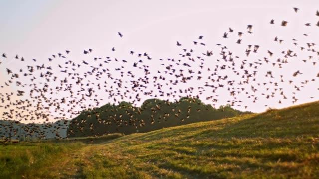 SLO, MO, Vögel fliegen über einer Wiese