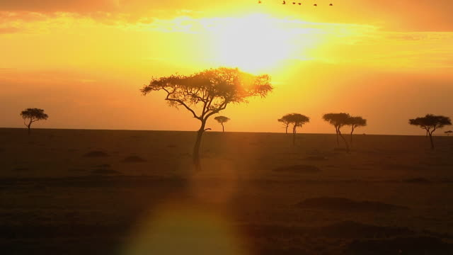 WS Birds flying over Acacia trees at sunset / Nairobi,  Masai Mara National Reserve, Kenya