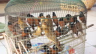 Birds in cage for release