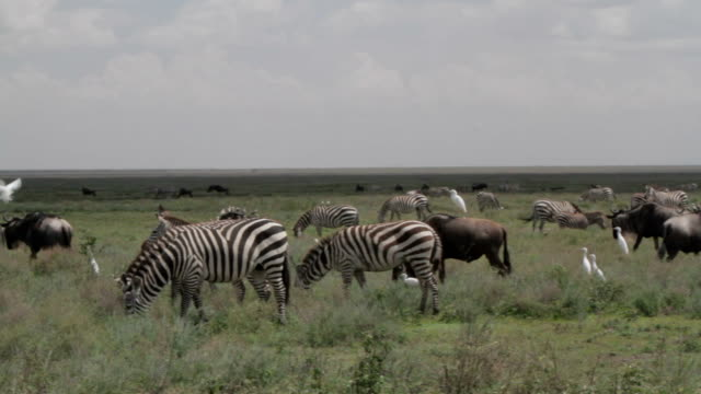 birds landing on zebras and wildebeests