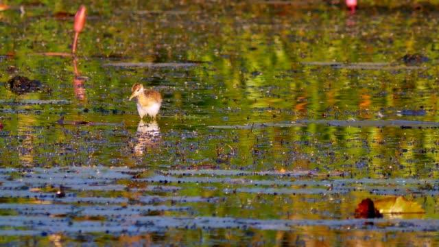 Birds living on wetlands.