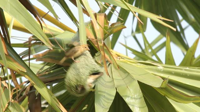 Birds making bird's nest on palm tree