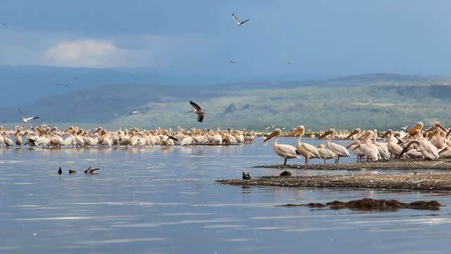 Birds on Lake Nakuru in Kenya.