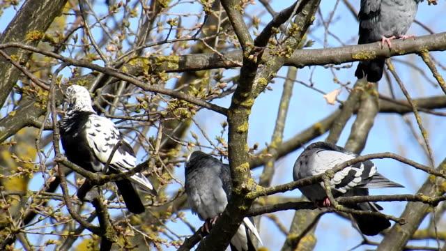 Vogels van de serie: duiven zitten aan de boom