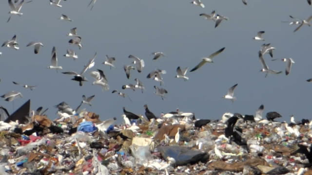 Birds Swarming Over A Landfill