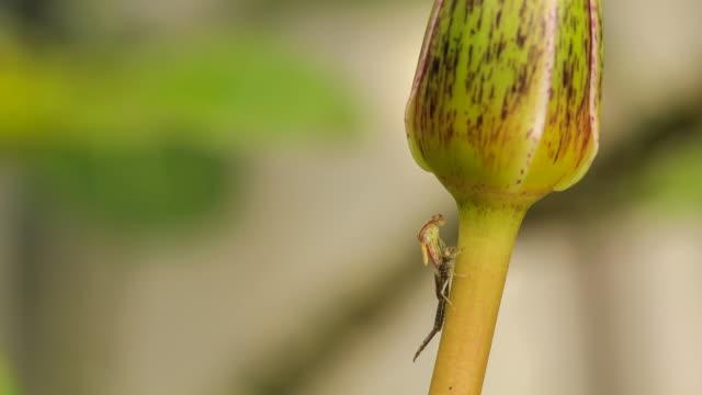 Geburt von einer Libelle