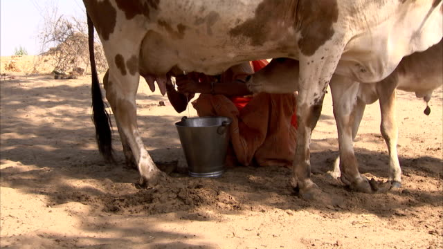 A Bishnoi woman milks a cow as a calf looks on with interest. Available in HD.