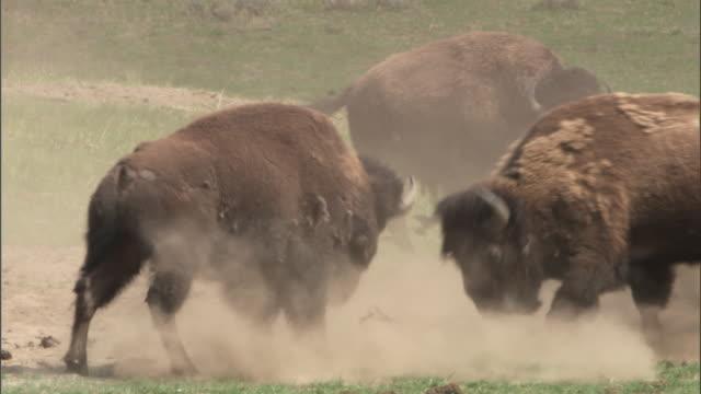 Bison (Bison bison) bull intimidates rival, Yellowstone, Wyoming, USA