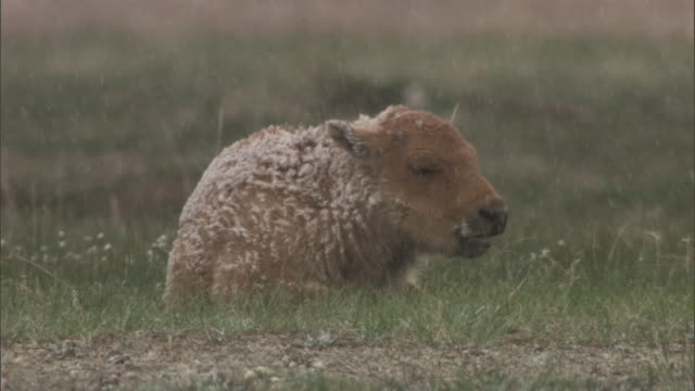 Bison (Bison bison) calf in snow, Yellowstone, USA