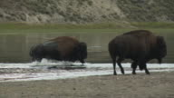 Bison cross the Yellowstone River as one bison gallops across the bank in Yellowstone National Park.