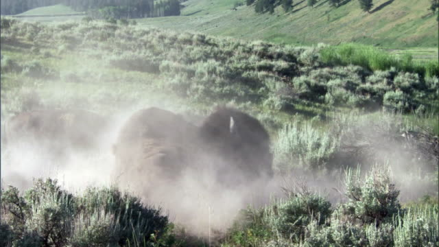 Bison (Bison bison) dust bathes on prairie, Yellowstone, USA
