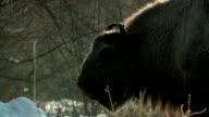 Bison eats