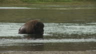 A bison fords Yellowstone River and shakes water off its shaggy hide.