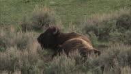 Bison (Bison bison) giving birth, Yellowstone, Wyoming, USA