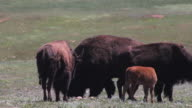 CU of bison graving in a field in Wind Cave National Park