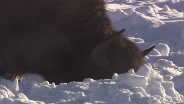 Bison (Bison bison) grazes in snow, Yellowstone, USA