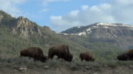 Bison herd grazing in sagebrush, Yellowstone National Park, Wyoming