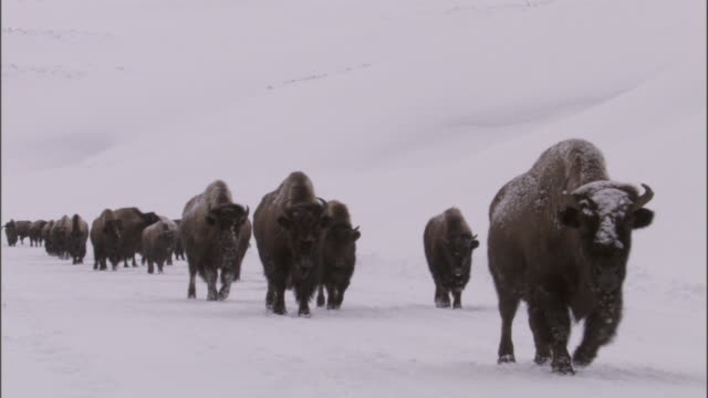 Bison (Bison bison) herd trudges over snow, Yellowstone, USA
