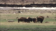 Bison (Bison bison) protect calves from grey wolves (Canis lupus), Yellowstone, USA