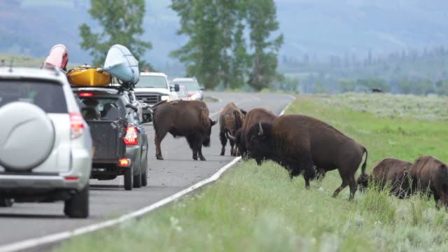 Bison traffic jam in Lamar Valley Yellowstone NP Wyoming