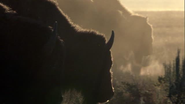 Bison (Bison bison) walk on prairie at sunrise, Yellowstone, USA