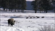 Bison (Bison bison) watches grey wolves (Canis lupus), Yellowstone, USA