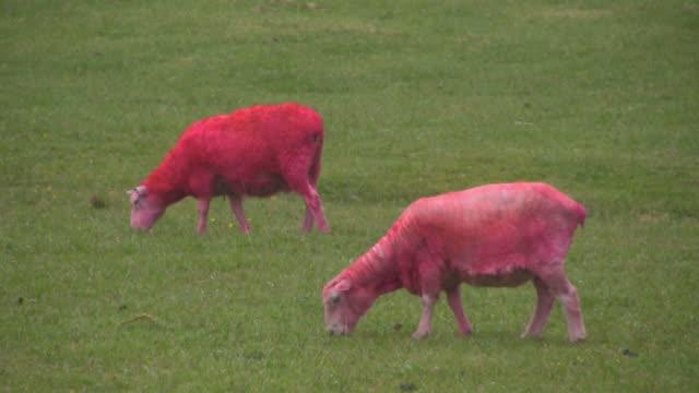 HD: Bizarre, Pink Sheep Eats and Defecates, Poops