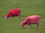 Bizarre: Pink Sheep Eats and Defecates, Poops