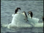Black and white Adelie penguins perched on floating iceberg. More penguins leap onto iceberg causing it to topple over into blue sea.