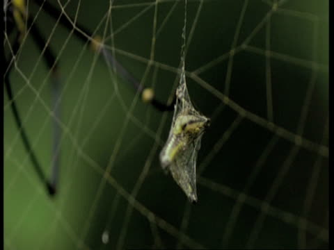 CU black and yellow spider in web, hangs insect wrapped in web onto the main web, Western Ghats, India