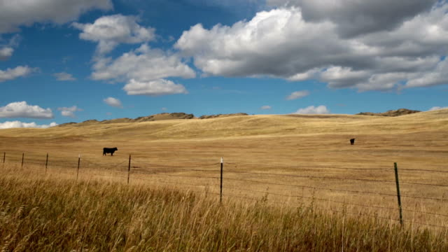 Black angus cows behind barbed wire fence in large golden prairie grass field with puffy clouds and blue sky.