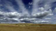 Black angus cows in large golden prairie grass field with puffy clouds and blue sky casting shadows on landscape..
