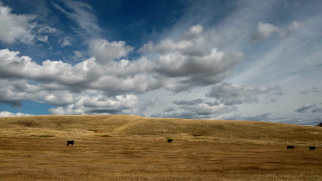 Black angus cows walking in large golden prairie grass field with puffy clouds and blue sky.