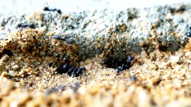 Black ants nest