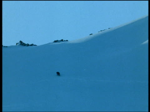Black arctic fox runs over snowy hillside, Iceland
