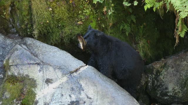 Black Bear (Ursus americanus) carrying away a large salmon