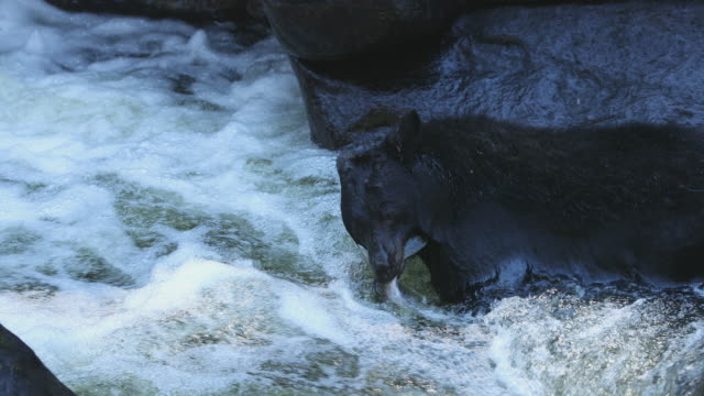 Black Bear (Ursus americanus) catches a large salmon and takes it into a cave