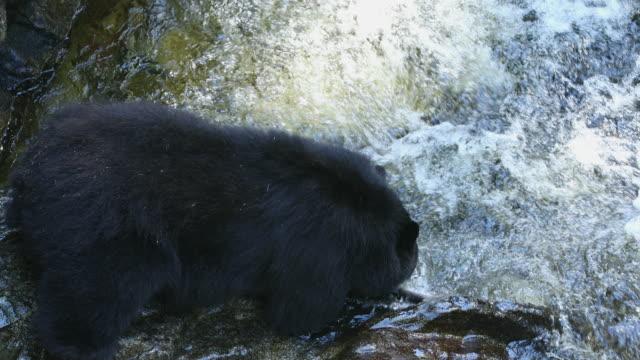 Black Bear (Ursus americanus) catches a Pink Salmon