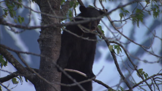 A black bear climbs out onto a tree limb.