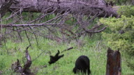 MS SLOW MOTION black bear cub (Ursus americanus) falling out of a tree and landing next to his mother